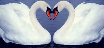 Het hart van de zwaan Royalty-vrije Stock Foto's