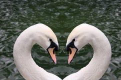 Het hart van de zwaan Stock Afbeelding