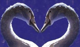 Het hart van de zwaan stock foto