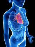 Het hart van een vrouw royalty-vrije illustratie