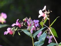 In het hart van het bos geeft het licht een jonge spruit van wild Aartje door stock foto's