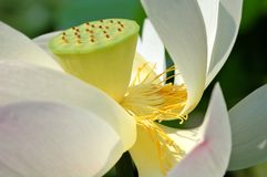 Het hart van Lotus royalty-vrije stock afbeelding