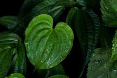Het hart vormde groen blad met waterdalingen na regen van het beklimmen Royalty-vrije Stock Fotografie