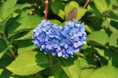 Het hart vormde purpere Hydrangea hortensia Stock Fotografie