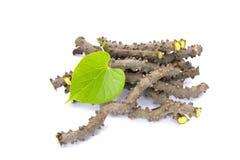 Het hartblad moonseed kruid voor gezond, Tinospora-zal cordifolia stock afbeelding