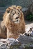 Het hebben van een rust leeuw Stock Afbeeldingen