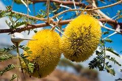 Het heerlijke fruit hangen in een acaciaboom Royalty-vrije Stock Afbeeldingen
