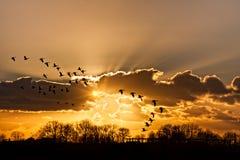 Het hekelen van ganzen bij dramatische zonsondergang Royalty-vrije Stock Foto