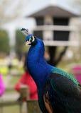 Het heldere kleurrijke dichte omhooggaande portret van de pauwvogel Royalty-vrije Stock Foto's