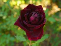 Het heldere rode fluweel nam in mijn tuin toe stock foto