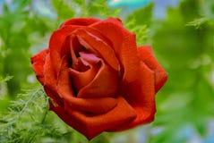 Het heldere Rode tot bloei komen nam toe stock afbeeldingen