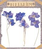 Het herbarium drukte blauwe bloemen Stock Fotografie
