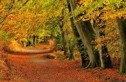 Het herfst bos van de Beuk (sylvatica Fagus) Royalty-vrije Stock Afbeeldingen