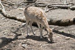 Het hert eet stock foto