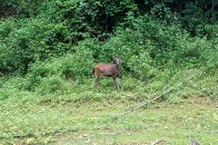 Het hert eet gras in het bos khlong saeng wildreservaat thailand stock afbeeldingen