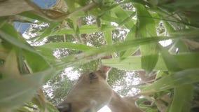 Het hert eet groene aard, leuk, het wild, dier, wildernis, zoogdier, het eten stock footage