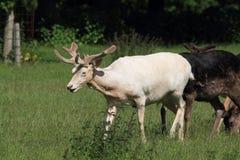 Het hert en  Stock Foto's