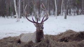 Het hert ligt op het hooi in de winter en eet stock footage