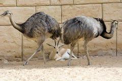 Het hert is onder de struisvogels stock afbeeldingen