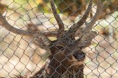 Het hert is opgesloten in de kooi Droevige ogenclose-up stock foto's