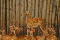 Het hert wordt gefokt in de dierentuin royalty-vrije stock fotografie