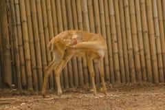 Het hert wordt gefokt in de dierentuin stock foto's