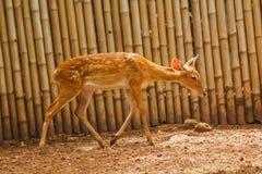 Het hert wordt gefokt in de dierentuin royalty-vrije stock foto