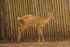 Het hert wordt gefokt in de dierentuin royalty-vrije stock foto's