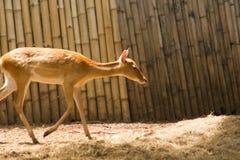 Het hert wordt gefokt in de dierentuin stock foto
