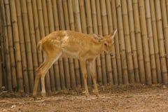 Het hert wordt gefokt in de dierentuin royalty-vrije stock afbeelding