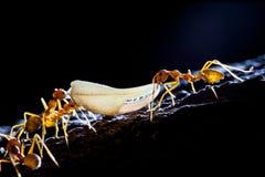 Het het teamwerk van de mier Stock Afbeeldingen