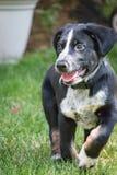 Het hijgen puppy Royalty-vrije Stock Fotografie