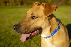 Het hijgen van de hond Royalty-vrije Stock Afbeeldingen