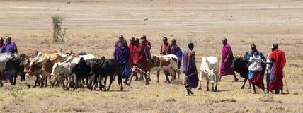Het hoeden van Masai vee stock afbeeldingen