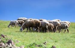 Het hoeden van schapen op de weide Stock Afbeeldingen