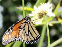 Het Hoge Park van Toronto de Monarch op een witte ijzerkruidbloem 2013 Stock Afbeeldingen