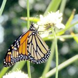 Het Hoge Park van Toronto de Monarch op de witte ijzerkruidbloem 2013 Royalty-vrije Stock Afbeelding