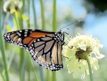 Het Hoge Park van Toronto de Monarch op witte ijzerkruidbloem 2013 Royalty-vrije Stock Afbeelding