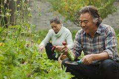 Het hogere paar glimlachen en het plukken groenten in de tuin stock afbeelding