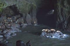 Het Hol van zeeleeuwen Stock Foto's