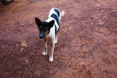 Het hondgezicht, Witte hond, de Thaise Hond van het Fotografieportret het is op stree royalty-vrije stock afbeelding
