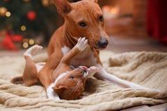 Het hondras Basenji en haar Puppy kweken Basenji, Kerstmis en Nieuwjaar, studioachtergrond Stock Afbeelding