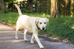 Het hondras Labrador gaat door het park Stock Afbeelding