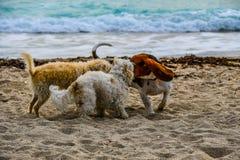 Het honds Fluisteren op het Strand Stock Afbeeldingen