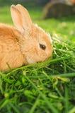 Het hongerige oranje konijn eten Stock Afbeeldingen