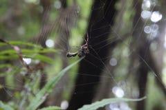 Het hongerige spin eten Stock Afbeeldingen