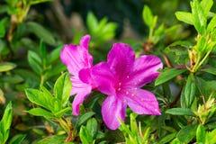 Het hoofd of de Azalea's van de rododendronbloem Royalty-vrije Stock Afbeeldingen
