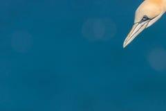 Het hoofd die van een jan-van-gent, in het overzees bij Bempton-Klippen duiken Royalty-vrije Stock Afbeelding