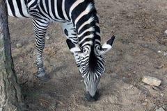 Het hoofd en de hals van een weidende die Zebra hierboven wordt gezien van royalty-vrije stock afbeeldingen