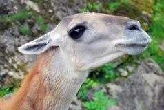 Het hoofd en de halsportret van de lama Stock Fotografie